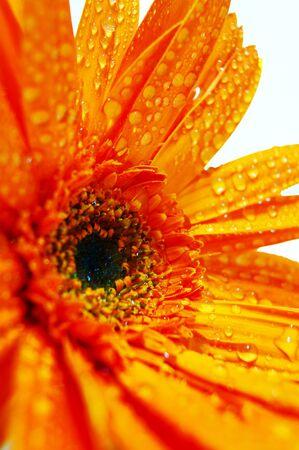Orange Gerbera Stock Photo - 8899485