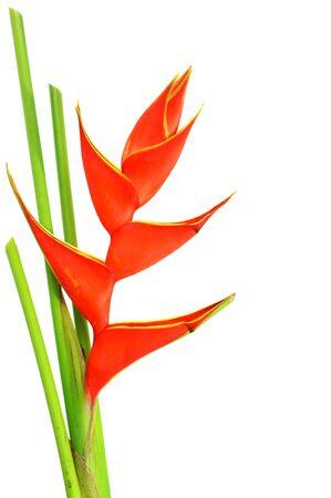 Heliconia                      photo