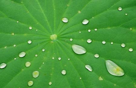 Druppels Water op het Blad van Lotus Stockfoto