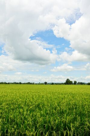 Rice Field in Thailand and cloudy sky