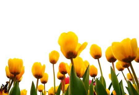 Yellow Tulip Field Stock Photo