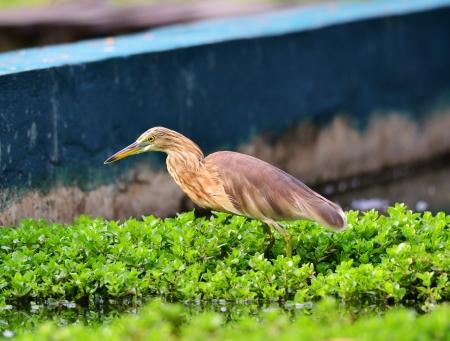 Indian Pond Heron Ardeola grayii Stockfoto