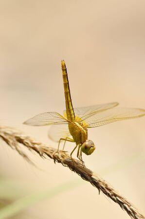 Yellow Dragonfly In De Tuin Stockfoto