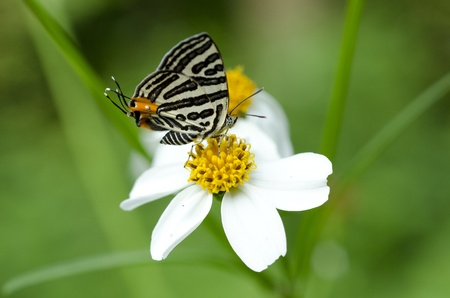 lycaenidae:  Butterfly, Lycaenidae  Spindasis lohita formosana  Stock Photo