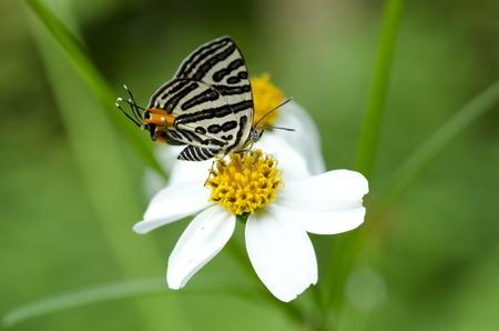 Vlinder, Lycaenidae Spindasis Lohita formosana