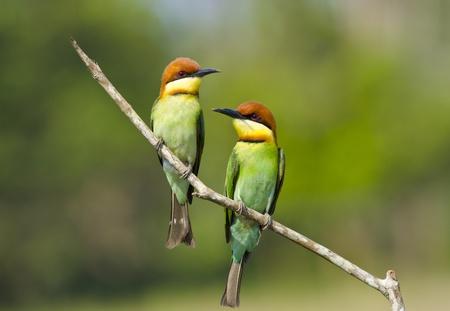 Chestnut-headed Bee-eater Stockfoto