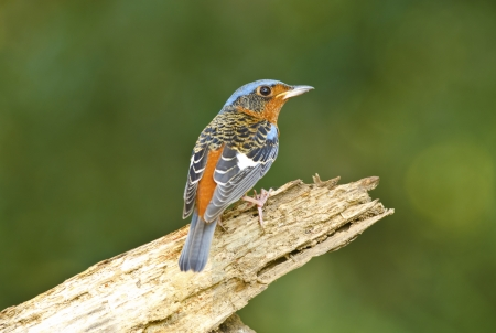 White-throated Rock-thrush, Bird of Thailand