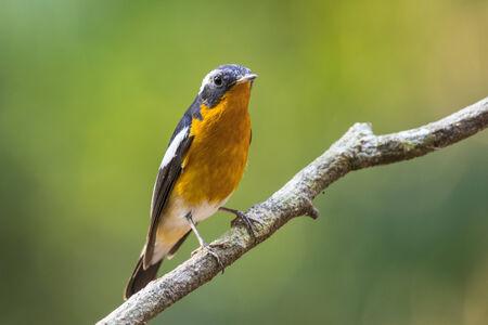 Mugimaki Flycatcher  Ficedula mugimaki , Bird