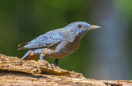 Blue Rock-Thrush  Monticola solitarius , Bird