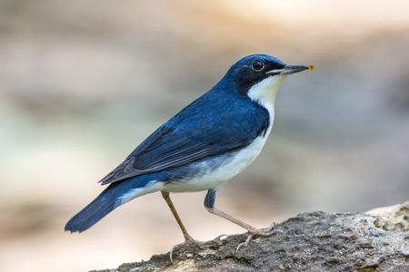 Siberian Blue Robin (Luscinia cyane), Bird