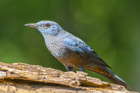 Blue Rock-Thrush (Monticola solitarius), Bird
