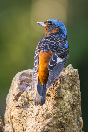 White-throated Rock-Thrush, Bird of Thailand