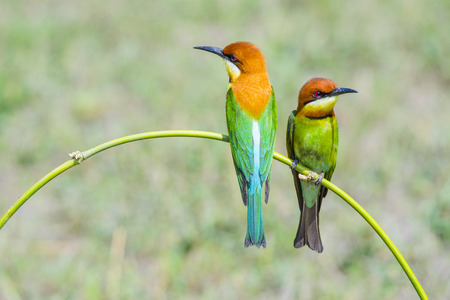 Chestnut-headed Bee-eater, Bird