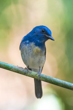 Hainan Blue Flycatcher (Cyornis hainanus), Bird