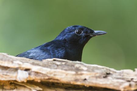 White-rumped Shama, Bird Behind Timber