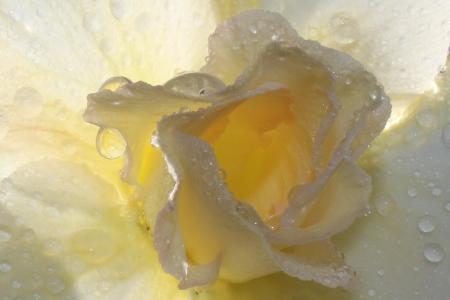 Morning fresh Light Yellow Desert Rose