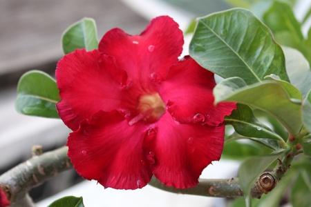 Adenium red flowers