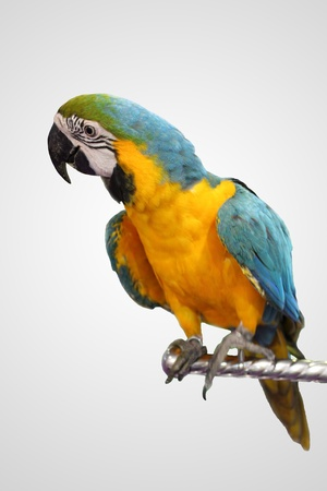 Blue and Yellow macaws on white blackground photo