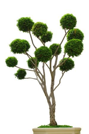 ebony tree: Dwarf   Tree  Isolate  on white  blackground Stock Photo