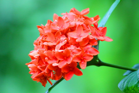 Orange  Ixora Flower on the Green Background