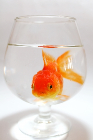 Golden fish in wine glass