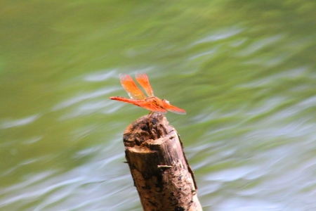 Red Dragonfly testing on the timber along the river