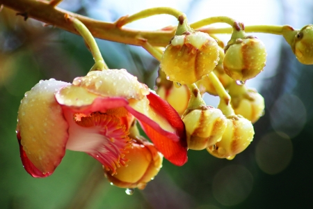 Beautiful cannonball tree  flower after rain Stock Photo