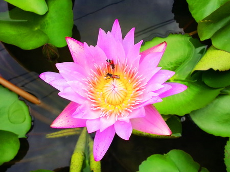 Bees with pink and purple lotus in pond