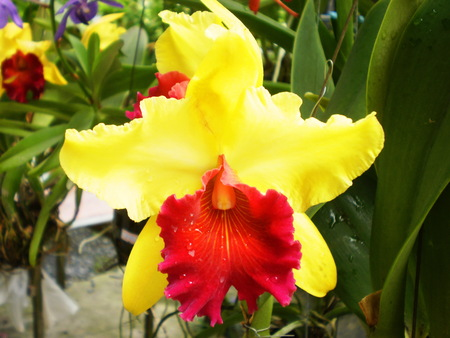 Red Yellow Cattleya orchid
