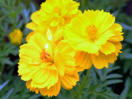Yellow Cosmos Flowers Stock Photo