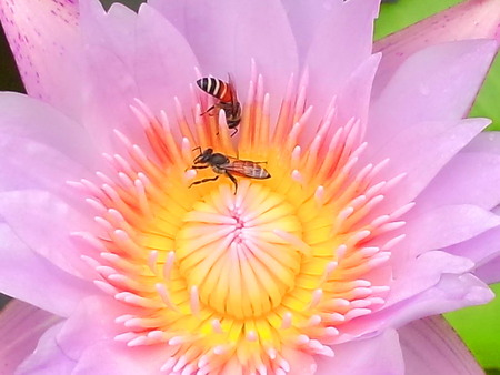 Pink lotus flower with bees,close-up Stock Photo