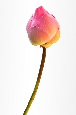 Pink lotus buds on white  blackground , Isolate photo