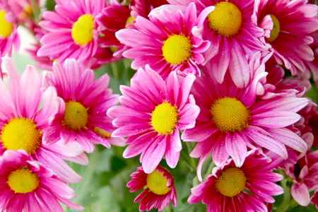 Beauty pink  chrysanthemum flowers  on blur green background Stock Photo
