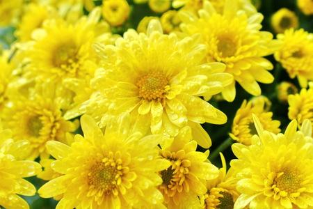 Beautiful Yellow chrysanthemum flowers Stock Photo