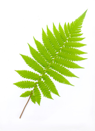 Leaves of a fern on white background,Isolate
