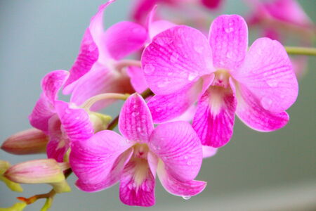 Water drop on purple orchids