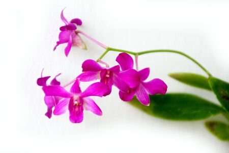 Violet  orcids  on white  background  ,  Isolated