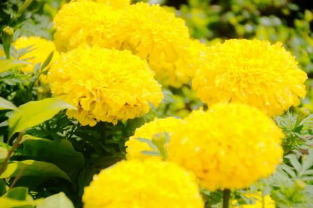 Beautiful  Marigold  in garden , Close-up Stock Photo