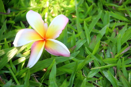 Pink Plumeria on green lawn Stock Photo