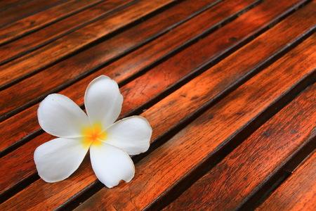 asterids: White Frangipani flower  on lath Stock Photo