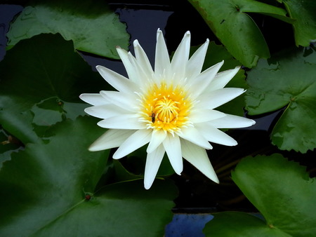 White lotus with bee in nature Stock Photo