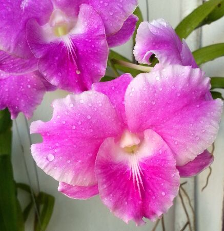 Water drop on pink orchids , Close-up Stock Photo