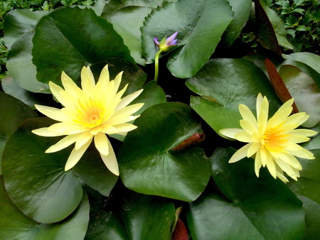 doublet: Twain  yellow lotus  in lotus pond