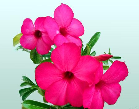 Panicle  of pink azalea  flowers on white background