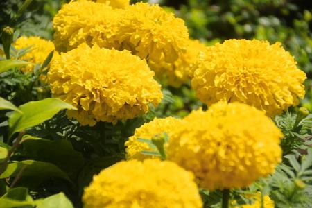 Beautiful chrysanthemum , close-up