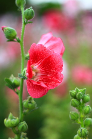 hollyhock: Red Hollyhock in public park