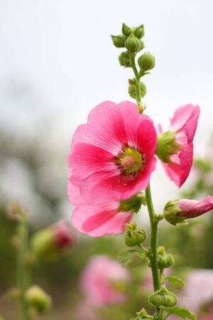 Pink Hollyhock in public park
