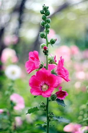 Dark pink hollyhock