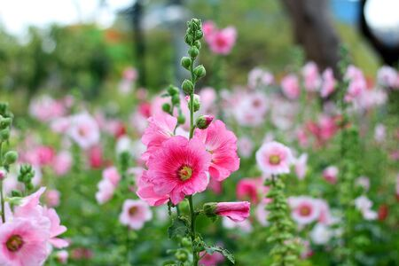 hollyhock: Fields of pink hollyhock