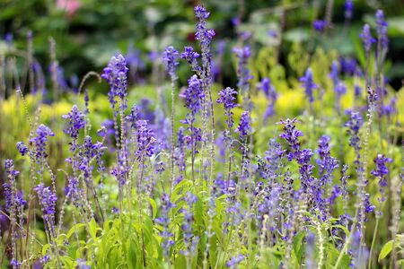 Fields of violet flowers